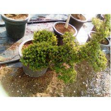 Şekilsiz Figürlü Bitki Lüküstürüm ligustrum