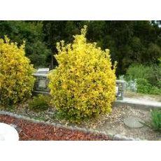 Altuni Taflan Euonymus Japonica 10-12 Cm