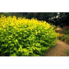 Altuni Taflan Euonymus Japonica Elegantissimus 20-25 Cm