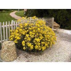 Bahçe Külü Çiçeği Martima Cineraria Maritima  20-25 Cm