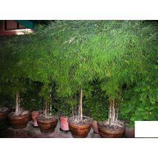 Bodur Bambu Fidanı Bambusa Nana Pseudosasa  Japonica 30-35 Cm Çapı