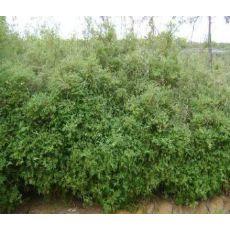Bodur Bambu Bambusa Nana Pseudosasa Japonica 110-130 Cm