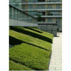 Bodur Çalı Hanımeli Fidanı Yeşil Yapraklı Lonicera Nitada  20-30 Cm