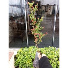 Gravilla Açık Pembe Çiçekli Gravillea Juniperina