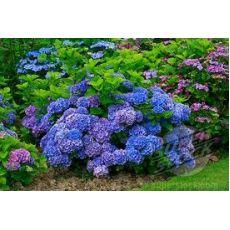 Ortanca Çiçeği Mor Hydrangea Macrophylla