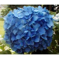 Ortanca Çiçeği Mavi Hydrangea Macrophylla 25-35  Cm