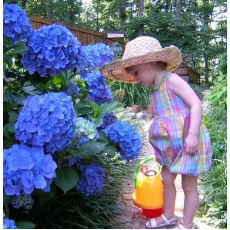 Ortanca Çiçeği Mavi İthal Hydrangea Macrophylla 25-30 Cm Çapında