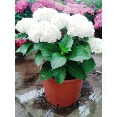 Ortanca Çiçeği Beyaz Çiçekli Hydrangea Macrophylla