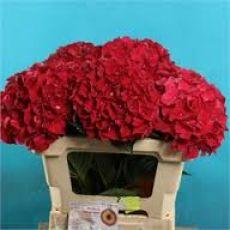 Ortanca Çiçeği Kırmızı İthal Hydrangea Macrophylla 25-30 Cm Çapında