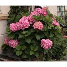 Ortanca Çiçeği Pembe Hydrangea Macrophylla 20-25 Cm