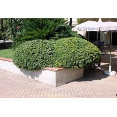 Pitos Forum Pittosporum Tobira 50-60 Cm Çapı