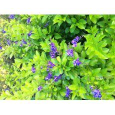 Duranda Çiçeği Bitkisi 60-80 Cm