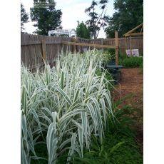 Alacalı Sasa Bambu Bambusa Pleioblastus Fortunei 30-40 Cm