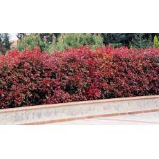 Alev Ağacı Photinia Fraseri Red Robin