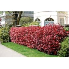 Alev Ağacı Photinia Fraseri Red Robin 175-200 Cm