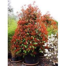Alev Ağacı Photinia Fraseri Red Robin 50-60 cm
