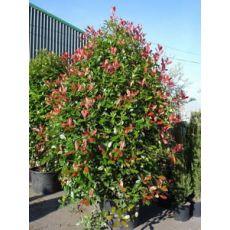 Alev Ağacı Photinia Fraseri Red Robin 30-40 cm