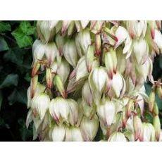 Avize Çiçeği Jucca Yukka Filamentosa 300 Cm Yavrulu
