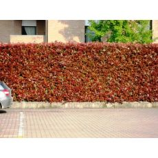 Bodur Alev Ağacı Çalısı Photinia Fraseri Little Red Robin Nana 10-15 Cm