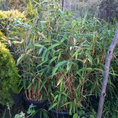 Bodur Bambu Bambusa Nana Pseudosasa Japonica 30-40 Cm