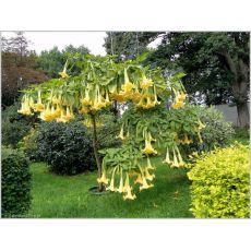 Cennet Borazanı Datura Melek Borazanı Sarı Çiçekli