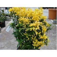 Çıtır Taflan Çıtır Taflan Altuni Euonymus Microphyllus Aureus