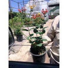 dağ çiçeği hipertum 20-25 Cm