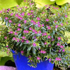 Kufeya Cennet Çiçeği Mor Çiçekli Cuphea Hyssopifolia 25-30 Cm