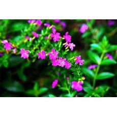 Kufeya Cennet Çiçeği Mor Çiçekli Cuphea Hyssopifolia 10-15 Cm