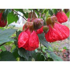 Lamba Çiçeği Ağaç Küpesi Fidanı