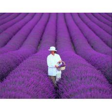 Lavanta Fidanı Lavandula Officinalis 10-15 Cm 10 Adet Fiyatıdır