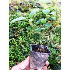 Ligüstrüm Çit Bitkisi Tüplü Lüküstürüm ligustrum japonicum 70-90 Cm