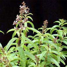 Melisa Çiçeği Limon Otu Aloysia Triphylla