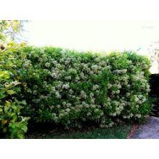 Parlak Yapraklı Kartopu Fidanı Lisidum Viburnum Lucidum 40-60 Cm