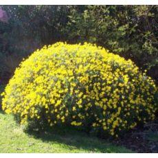 Sarı Papatya Çiçeği Euryops Pectinatus 30-40 Cm Çapında