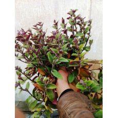 Telgraf Çiçeği Tüylü Tradescantia