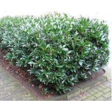 Yeşil Taflan Euonymus Japonica 15-20 Cm