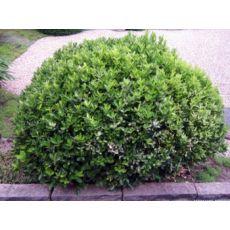 Yeşil Taflan Euonymus Japonica 25-35 Cm