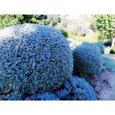 Zeytin Çalısı Teucrium Frutisens 20-25 Cm