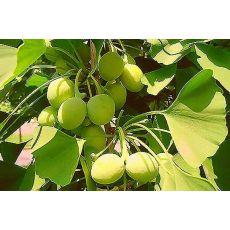 Mabet Ağacı Ginkgo Biloba 5 Metre