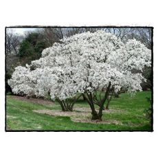Manolya Yaprak Döken Magnolya İthal Beyaz Çiçekli Magnolya Soulengiana Stella