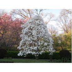 Manolya Yaprak Döken Beyaz Çiçekli Magnolia Stellata ithal 140-160 Cm