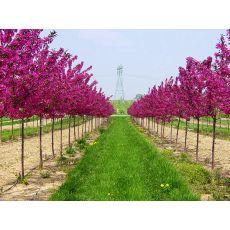 Süs Elması Malus Floribunda 100-120 Cm