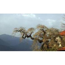 Süs Fındığı Fidanı Ağacı Corylus avellana Contorta