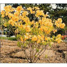 Yaprak Döken Açelya Çiçeği İthal Azealia Christopher Wren 120-140 Cm
