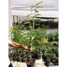 Akasya Ağacı Fidanı Acacia Turuncu Çiçekli 100 Cm