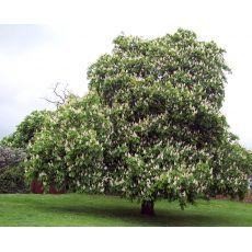 At Kestanesi Ağacı Fidanı Aesculus Hippocastanum