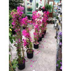 Begonvil Çiçeği Fidanı Gelin Duvağı Çiçeği 3 lü Dikim 150 Cm