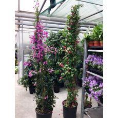 Begonvil Çiçeği Fidanı Gelin Duvağı Çiçeği 3 lİ Dikim 250 Cm