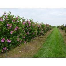 Hatmi Ağaç Fidanı Hibiscus Syriacus 300-350 Cm